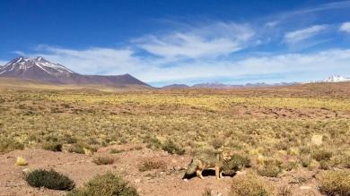Renard Argenté - Désert d'Atacama