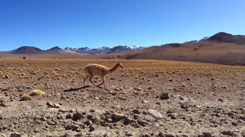 Vigogne - Désert de Bolivie