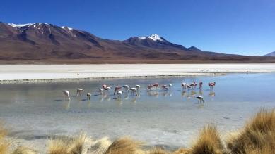 Les Flamingos - Lagunas de Bolivie